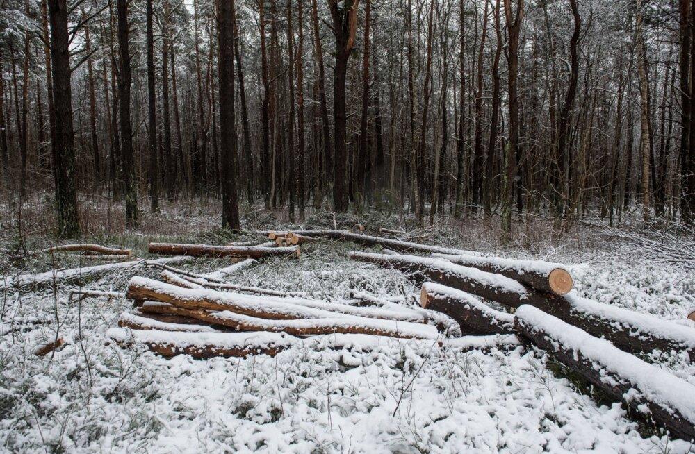 Raiutud puud Pääsküla metsas