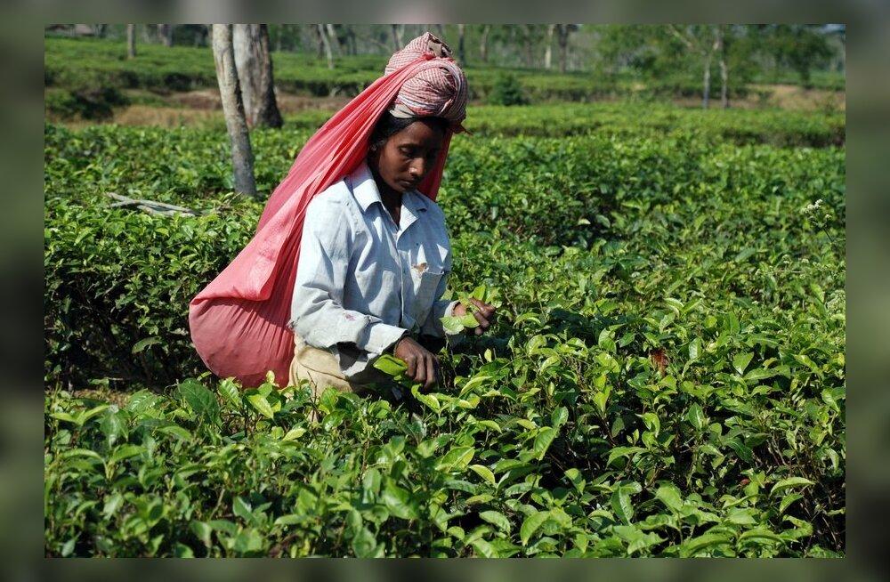 India teekasvatajad põletasid istanduseomaniku surnuks