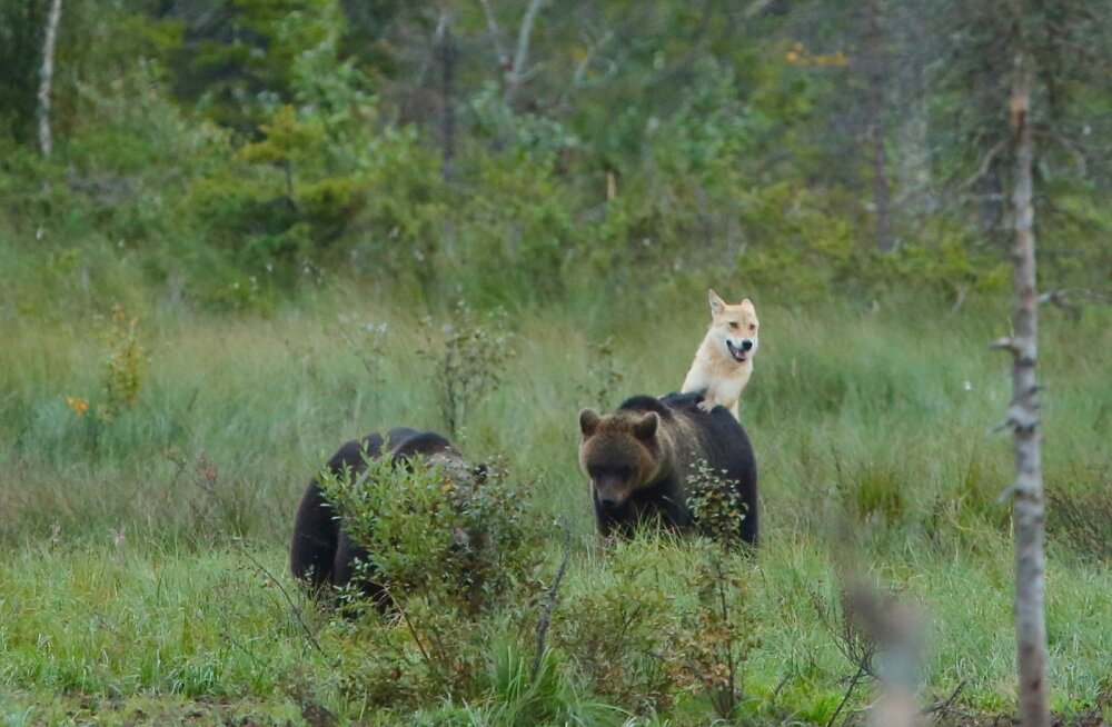 USKUMATU KAADER | Soome loodusfotograaf püüdis pildile karude ja hundi sõpruse