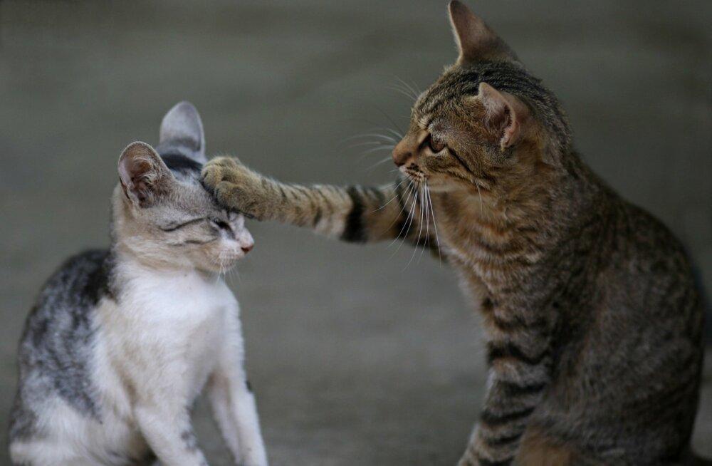 Kassid kaklevad? Järgi varjupaiga nippe ja lõpeta kassidevahelised konfliktid