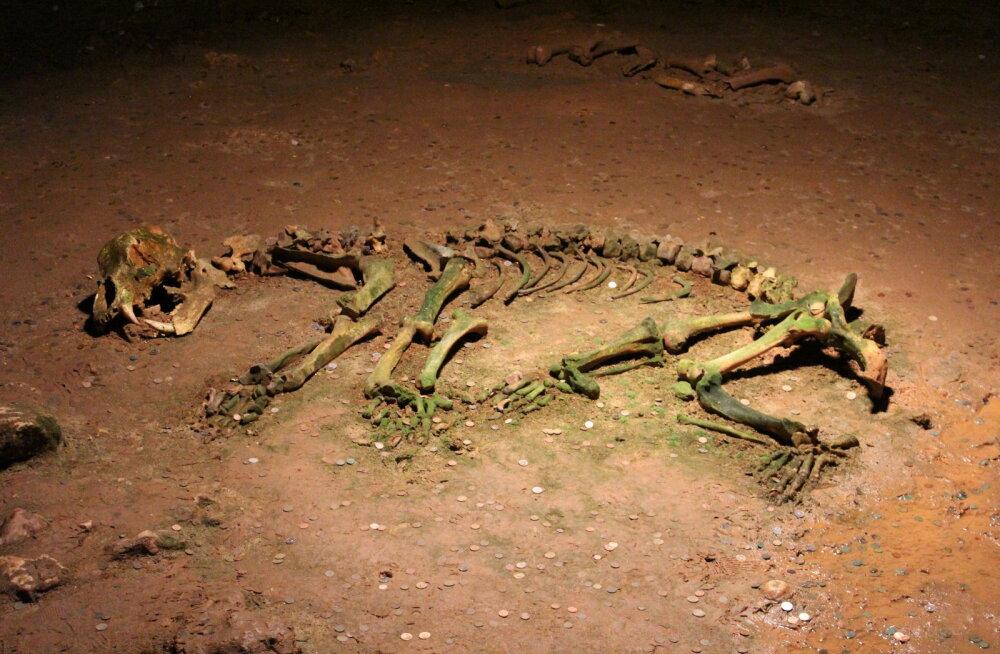 Ammu välja surnud taimetoidulise karuliigi arengulugu sai selgemaks
