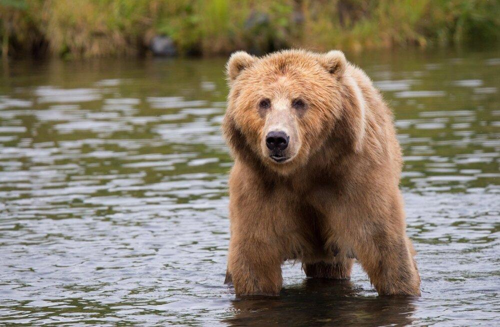 Aegviidus liigub julge karu: vallavanem sai nuhtluskaru küttimiseks eriloa
