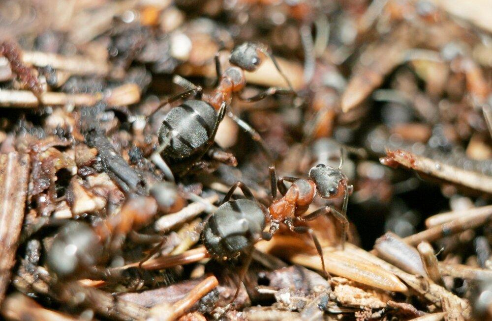Ameeriklased tahavad luua putukaarmee, mis kaitseks USA põllumajandussaadusi