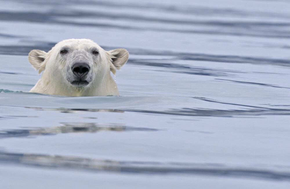 """""""Teame, et nad ei toitu piisavalt."""" Arktikas süveneb mure jääkarude pärast"""