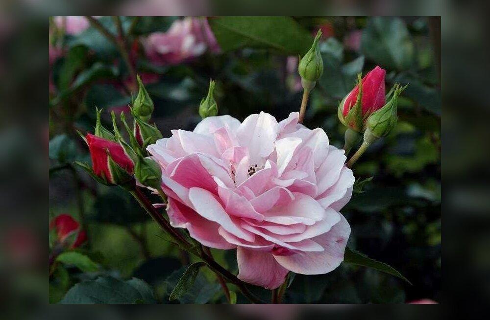 Põltsamaa roosiaia perenaine: enam ei jaksa võidelda, kui riik tahab kollektsiooni hävitada, eks teeme siis platsi puhtaks