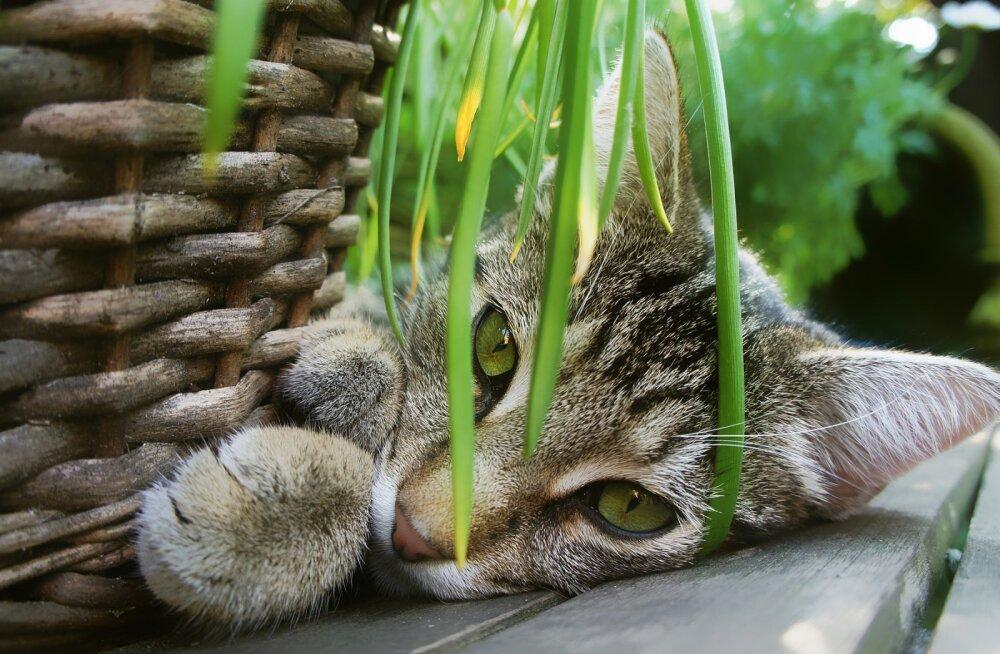 Ohutu maiuspala: neid seitset toataime võid julgelt pidada, kui sul on kass