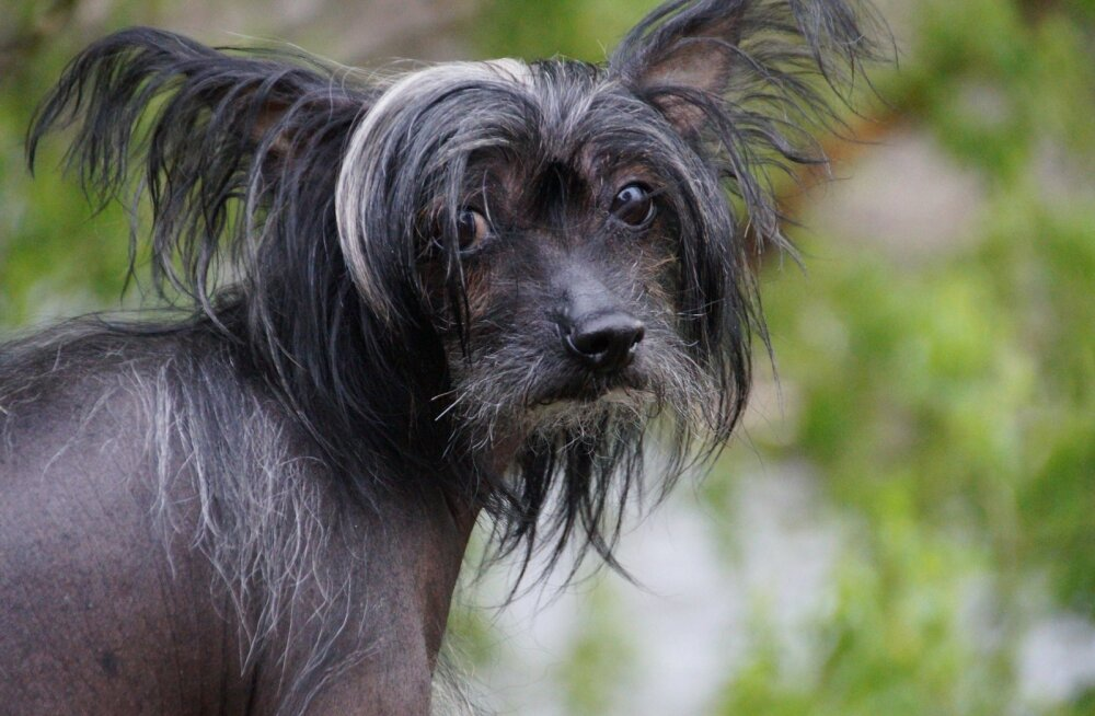 Haruldased koeratõud: kaheksa erilise välimusega koera, keda tänavapildis naljalt ei näe