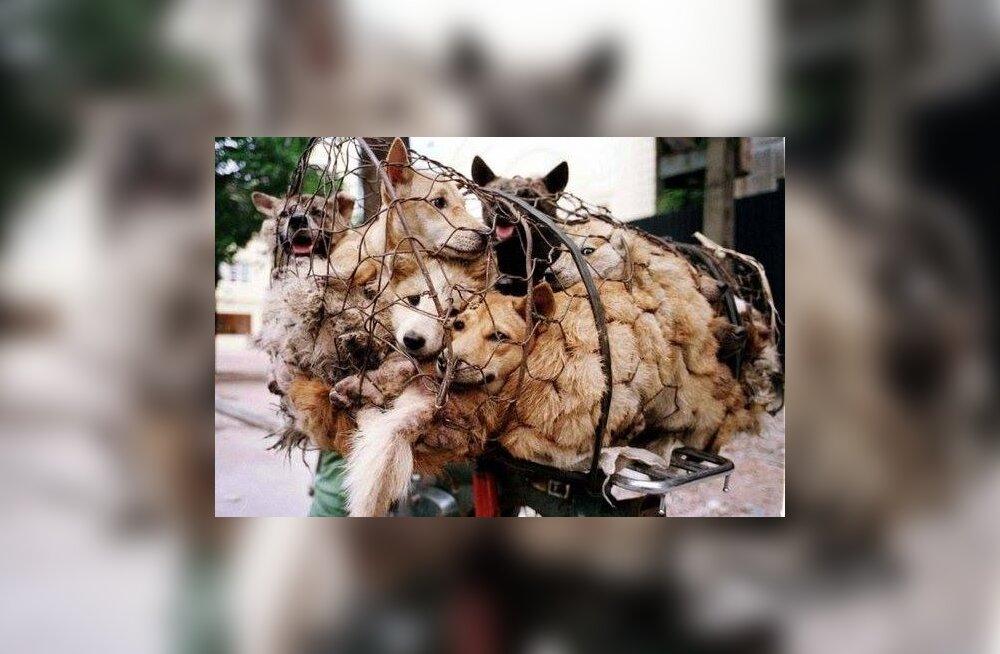 Ei mingit õppetundi: hiinlased peavad taas koeraliha-festivali