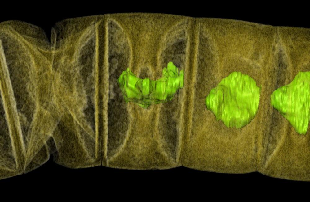 Killuke ürgseimat loodust: India keskpaigas ilmus maapõuest maailma vanim taim