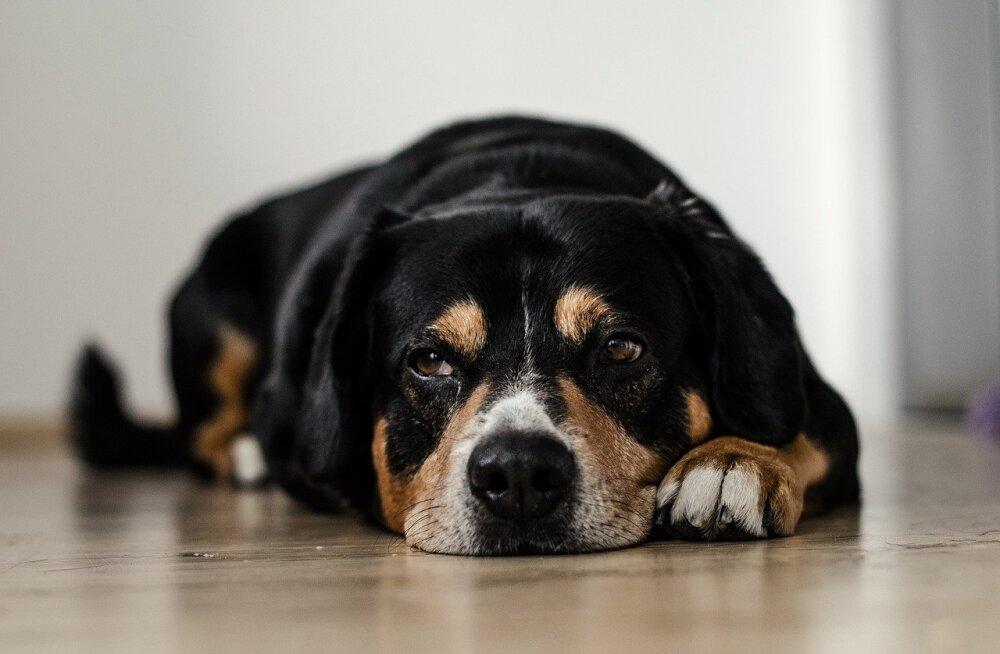 Olukorrad, mis koerale depressiooni põhjustavad ja kuidas teda kurvameelsusest välja tuua