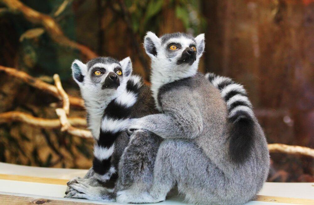 PÕNEV! 9 looma, kel on inimesega rohkem sarnasusi, kui sa arvatagi oskad