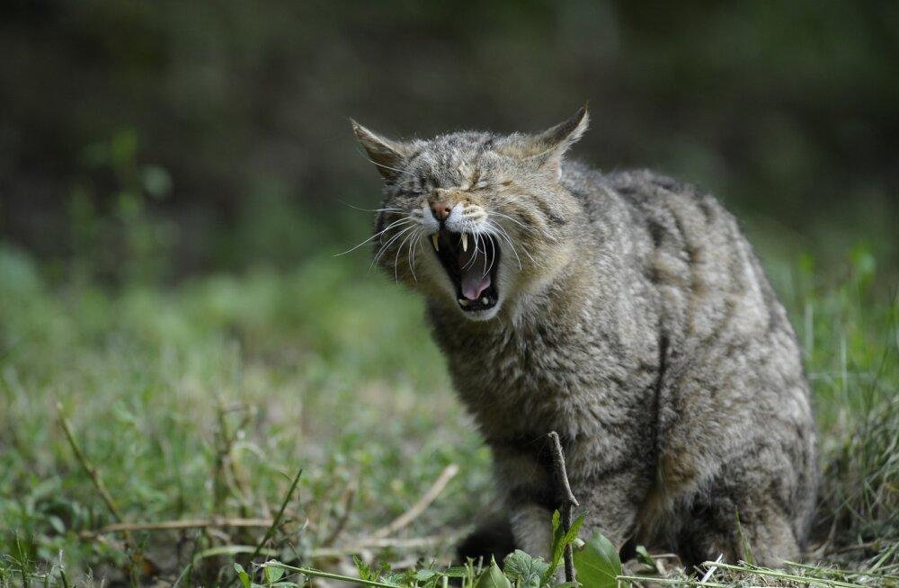 Loomagenotsiid: Austraalia plaanib 2020. aastaks tappa miljoneid metskasse