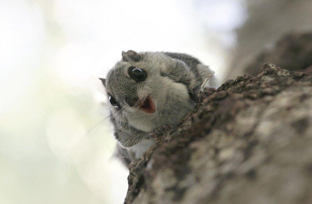 Хорошие новости! Белки-летяги осваивают в Эстонии новые места обитания