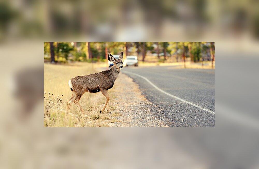 Kindlustus hoiatab: loomaga kokkupõrkel omavastutusest alati ei pääse