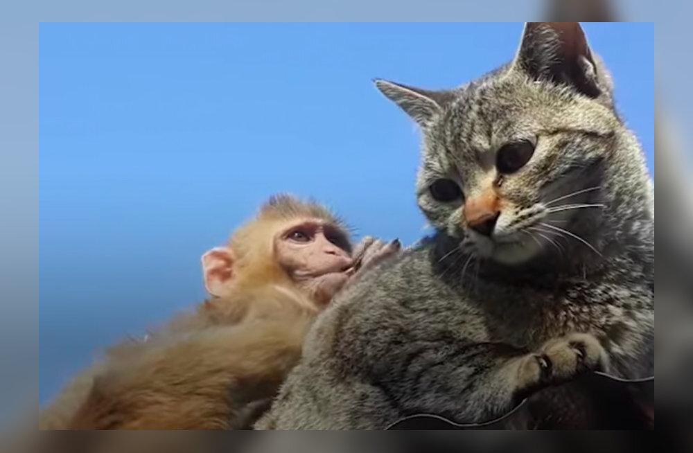 VIDEO | Ebatavaline sõprus kassi ja ahvi vahel sulatab iga südame