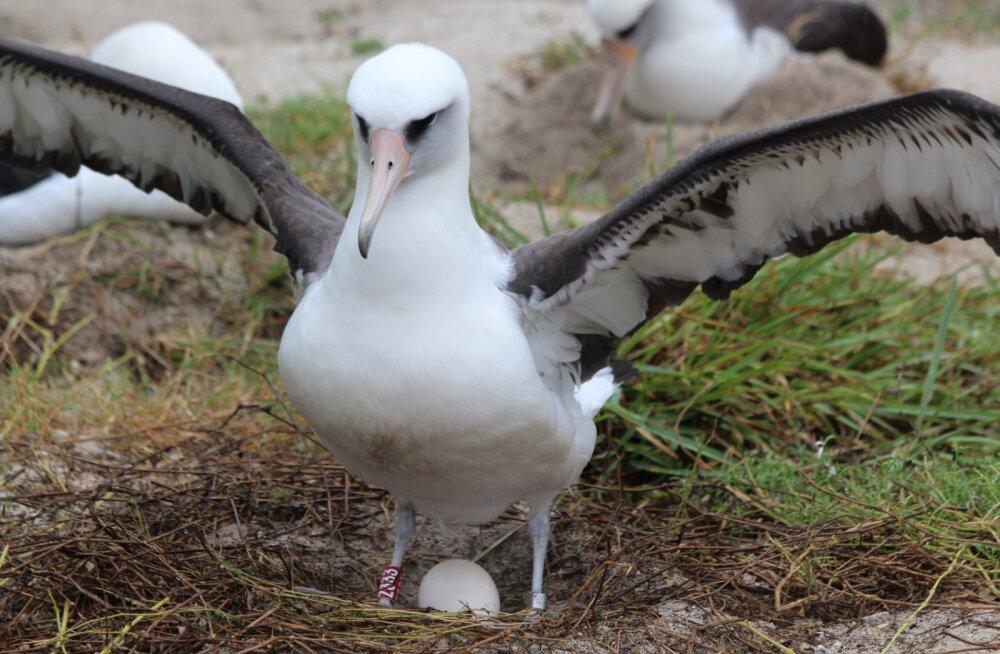 Maailma vanim lind muneb vaatamata kõrgele eale igal aastal ühe muna