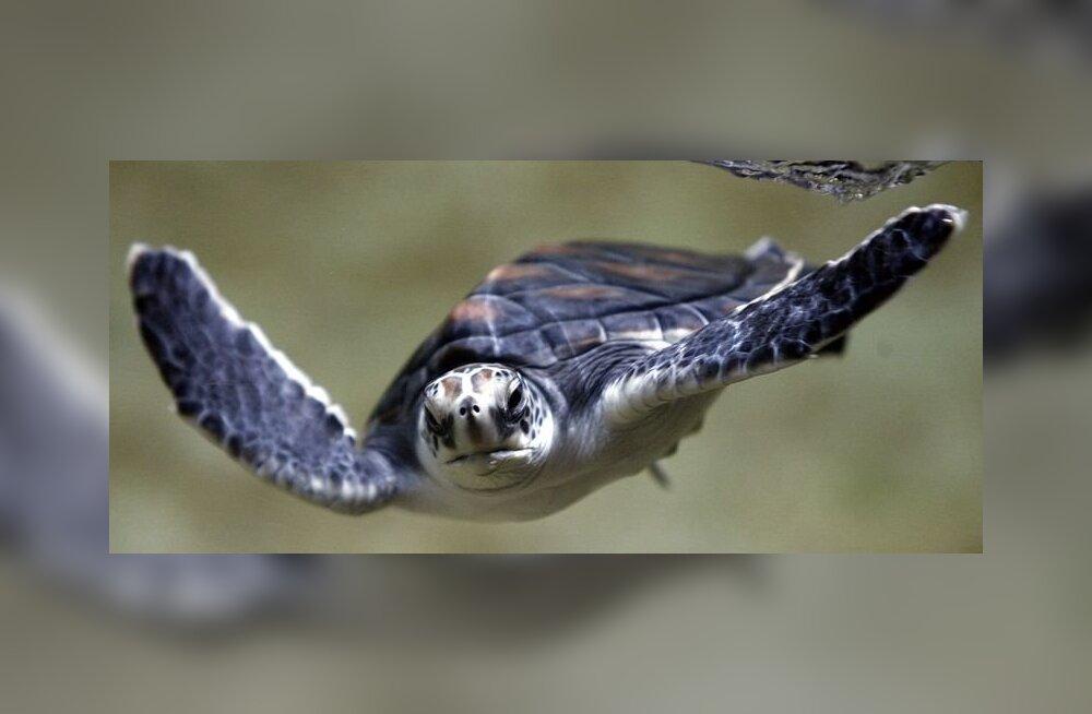 Kilpkonnade päästmiseks korraldatakse hiigeloperatsioon