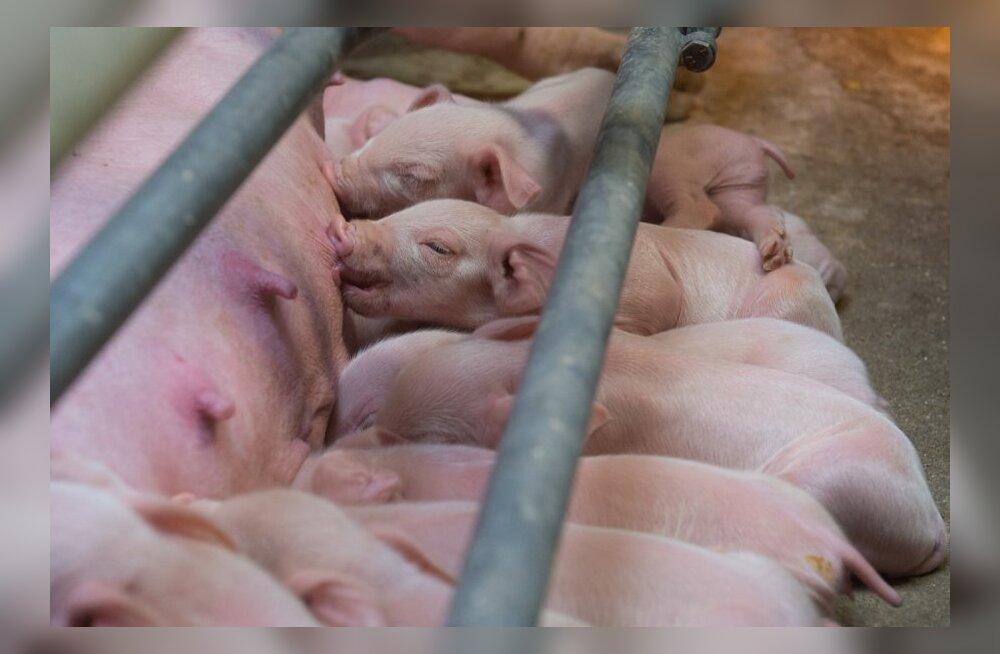 Поросят пощадили: свиноводство Ekseko избежало жестких ограничений