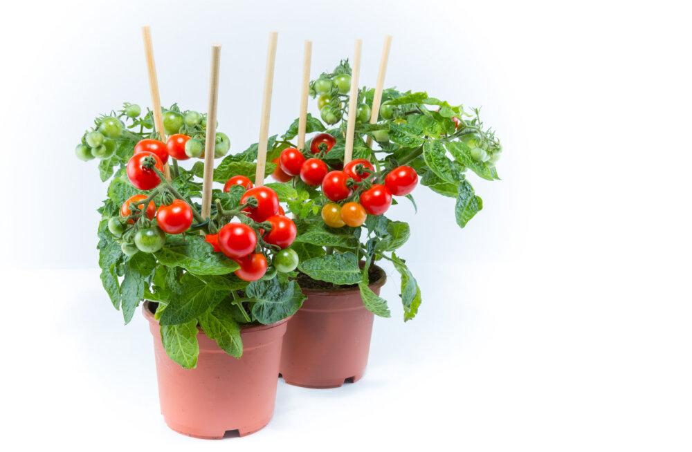 Soovitused, kuidas toimetada edasi tärganud tomatitaimedega