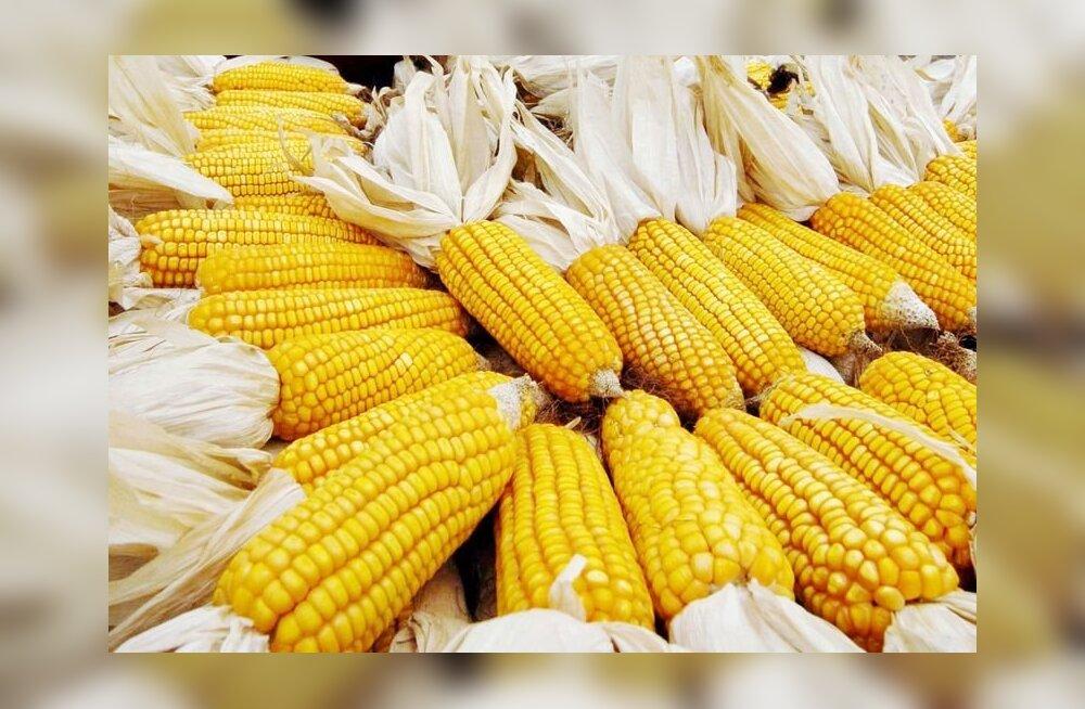 Geneetiliselt muundatud toitu testitakse hoolega