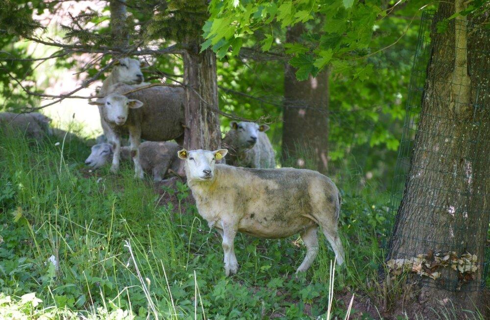 Viljandi lossimägede nõlvale saabusid lambad