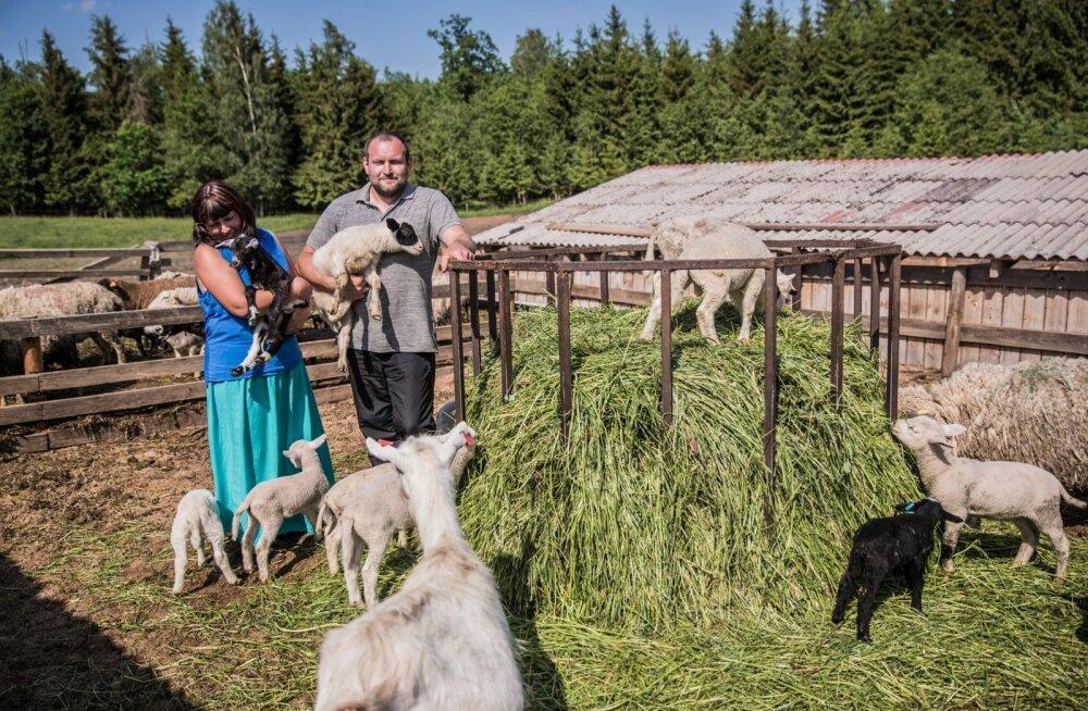 Jaan ja Maire Proosa juures Kuke talus saab katsuda, kas pehmema karvaga on kitse- või lambatalled.