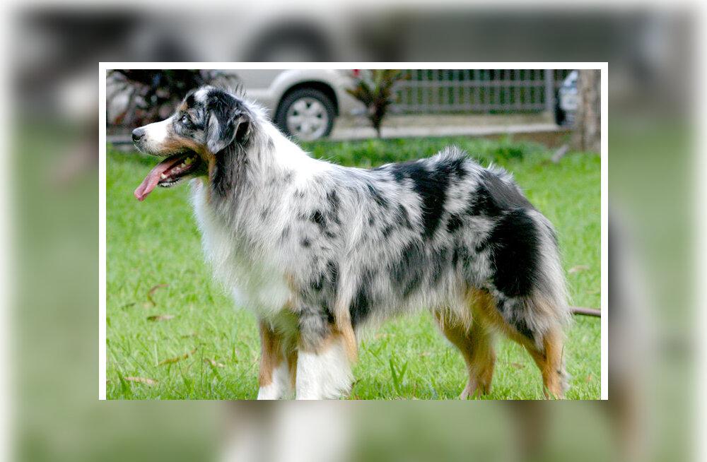 Austraalia lambakoer - koer, kes polegi Austraaliast pärit