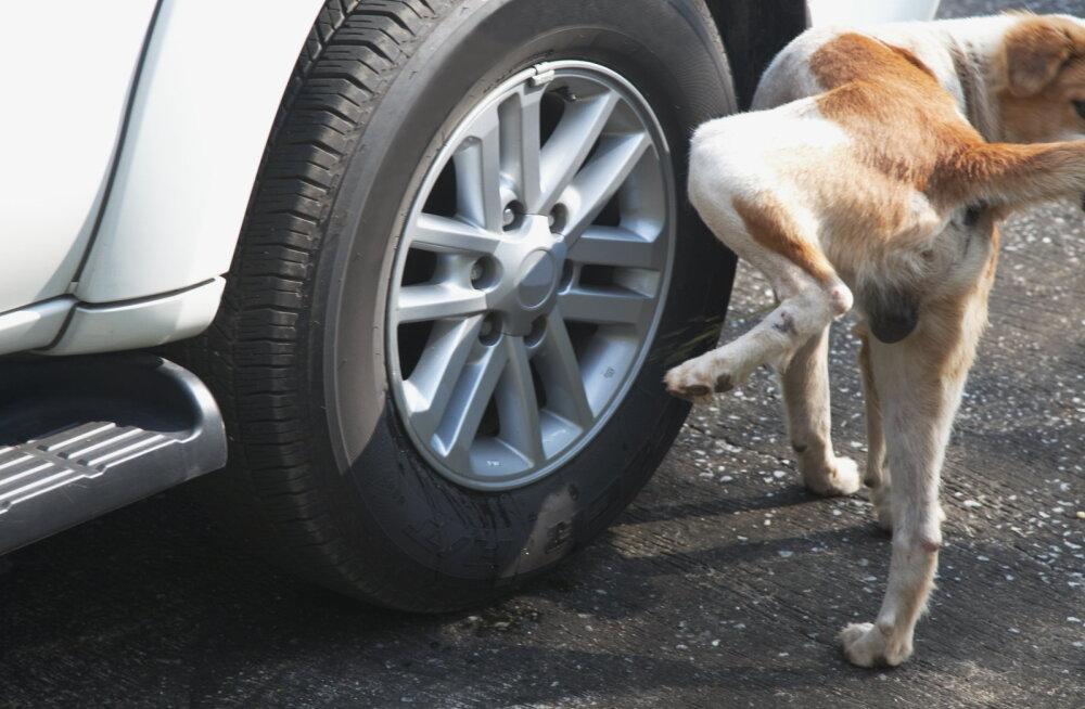 Ebameeldiv harjumus: miks koer autoratastele pissib?