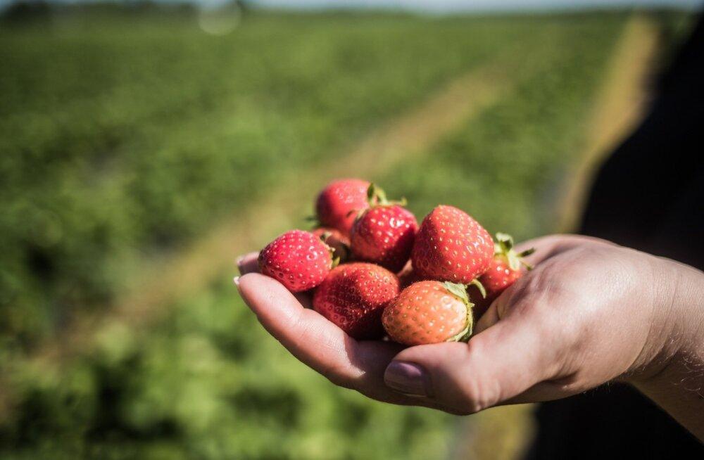 Maasikad valmivad teist aastat järjest varem ning inimesed kipuvad nende varumist vanast harjumusest liiga hilja peale jätma.