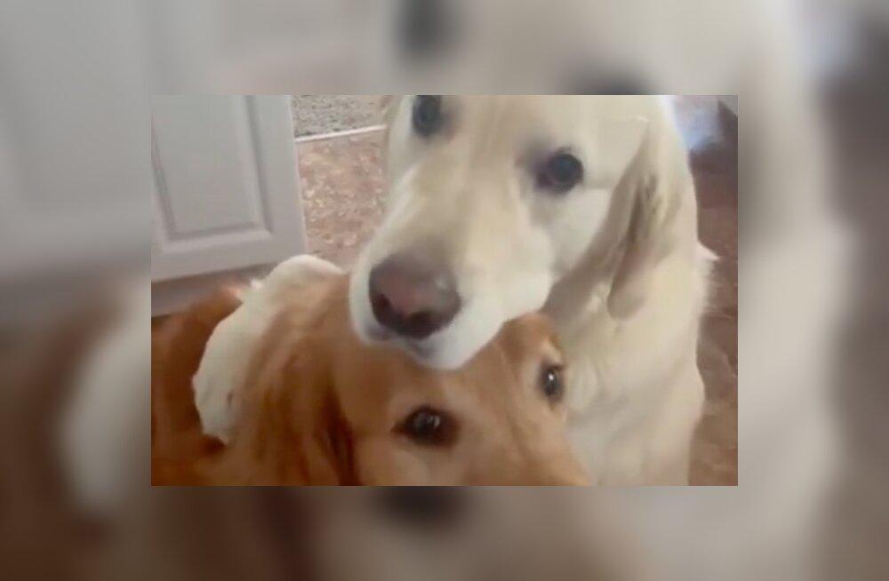 Südamlik VIDEO | Üks koer palub teiselt koeralt vabandust ja kallistab teda