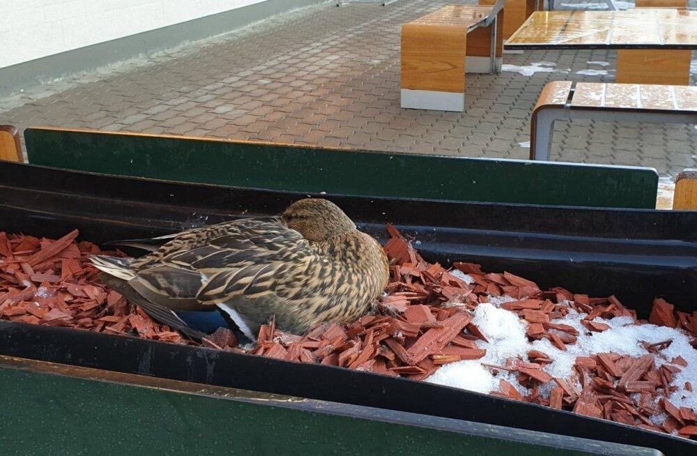 Гнездившаяся возле McDonald's в Тарту утка пропала вместе с гнездом