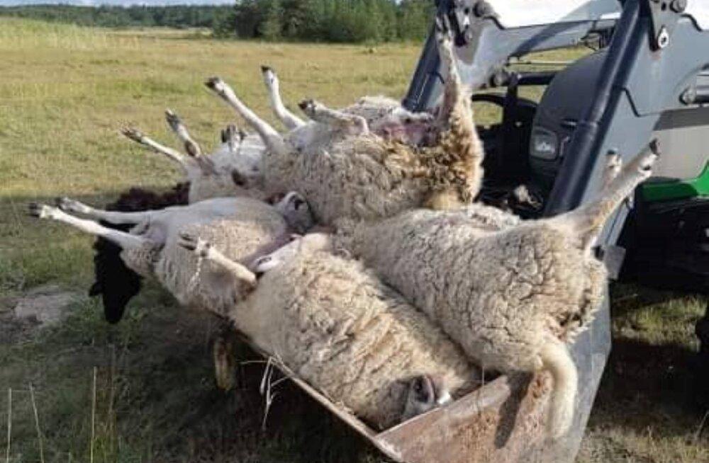 FOTOD   Hundid murdsid Hiiumaal 24 lammast