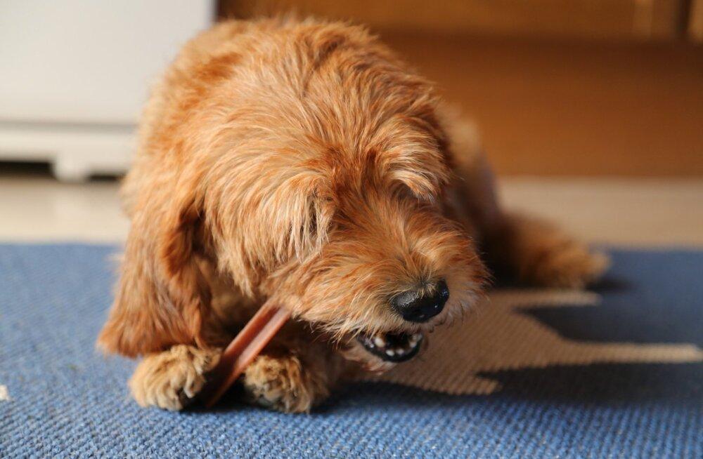 KUI MINU KOER | mida teha, kui koera hingeõhk haiseb?
