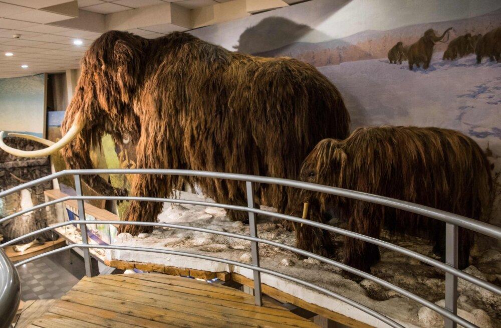 Viimaste mammutite raske elu: lõhna ei tunne ja järeltulijaid ei saa