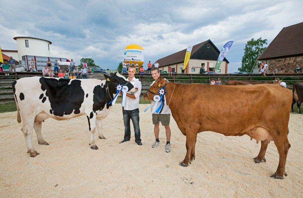 Oma plussid ja miinused on nii punastel kui ka mustakirjudel lehmadel.