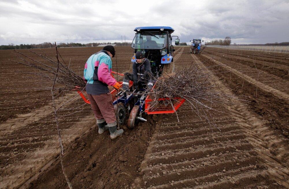 Arkna mõisa põldudel käis kibekiire istutustöö, mulda pandi 15 000 õunapuuistikut.