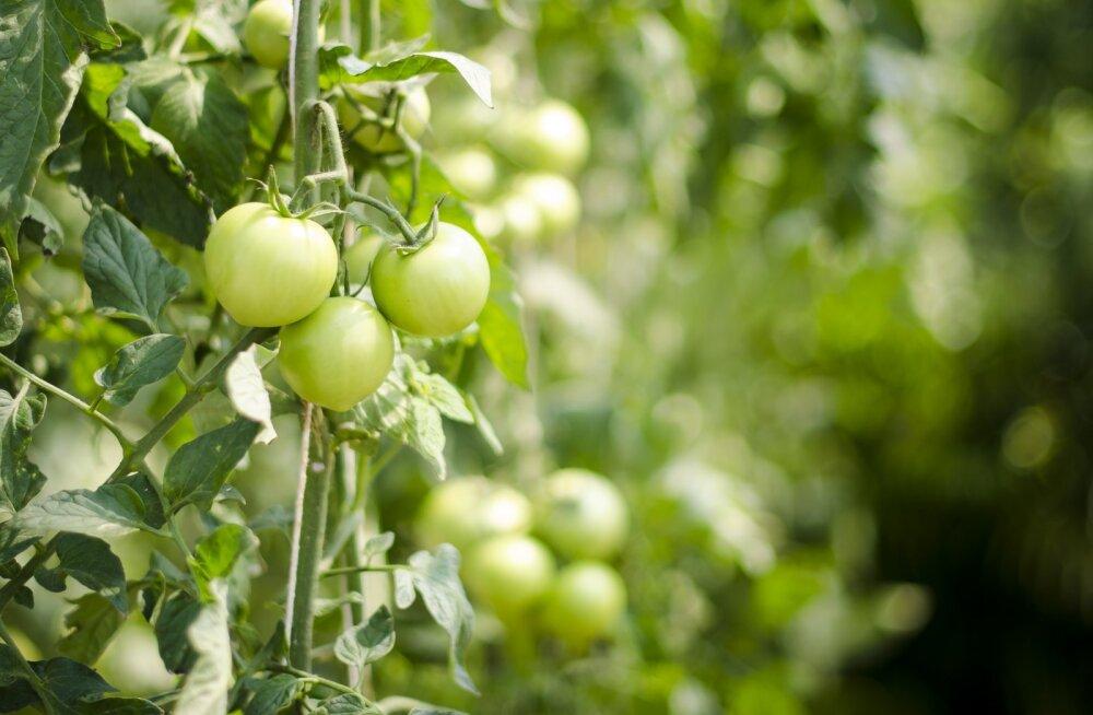 Mida tomatid oma kasvatajalt ootavad?