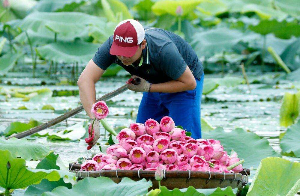 ФОТО   Завораживающая красота: как собирают лотосы во Вьетнаме