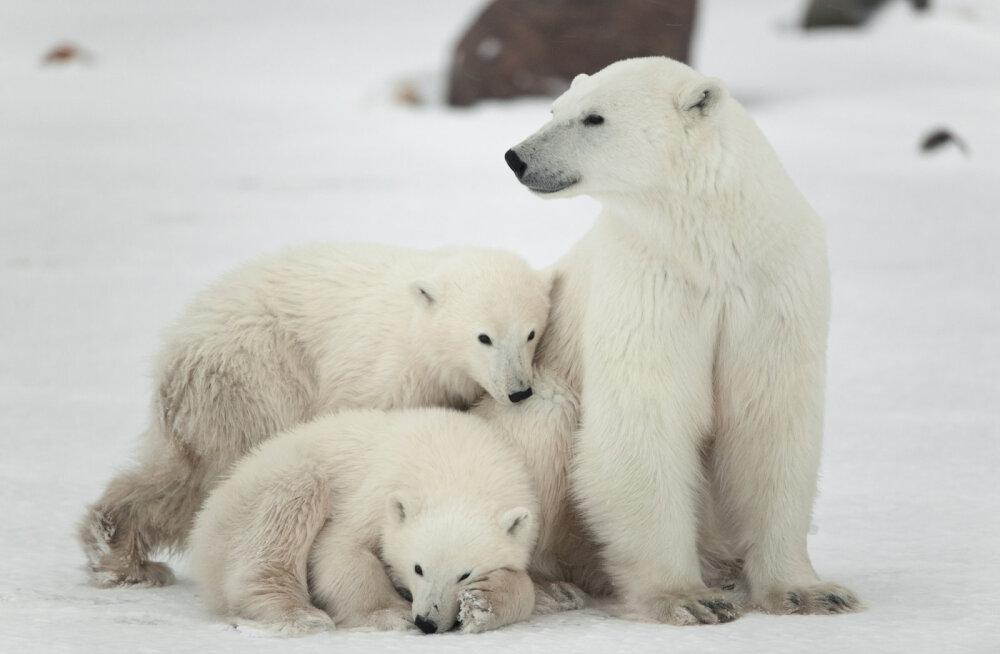 Aita mõmmikuid! Tallinna Loomaaia polaarium: jääkarude uus kodu on jätkuvalt murekoht