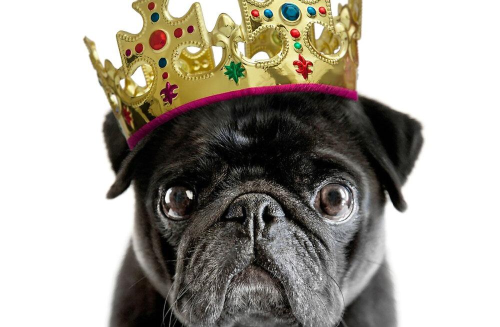 33f314117bd 16 märki, et tegelikult on sinu koer majas tõeline peremees - Lemmikloom