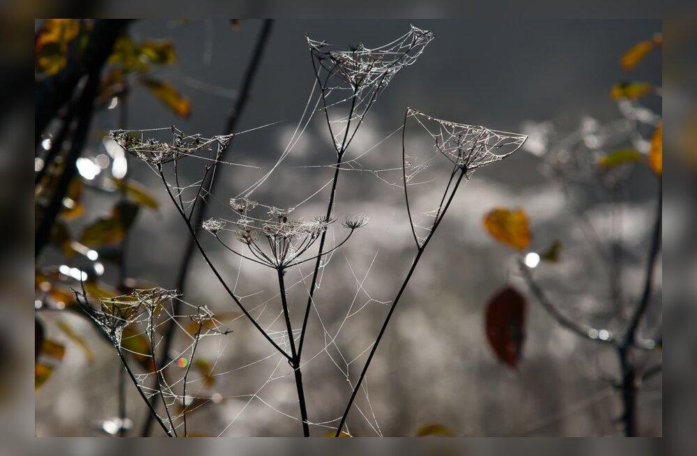 Miks ämblik oma võrku kinni ei jää?