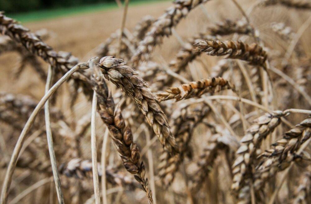Ohtlik taimekaitse: kas Roundup närvutab ka inimese?