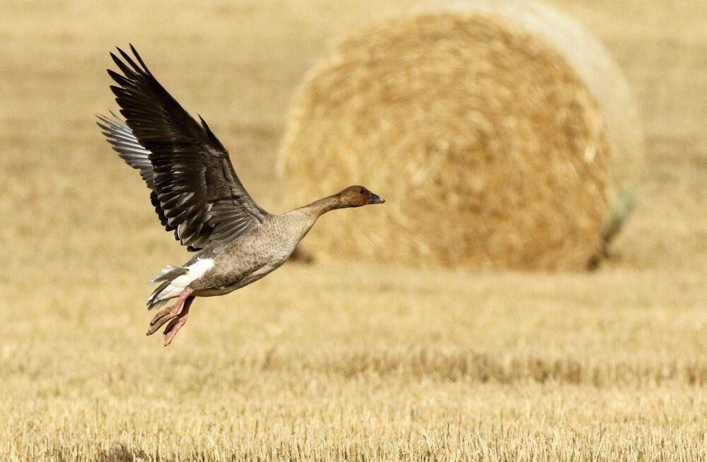 Pesitsema lendavad haned teevad põllumehe kevade tõeliseks põrguks