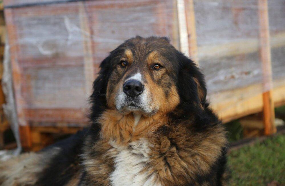 Koer Mõmmiga juhtunu osas uurimine käib, loomasõpradelt palutakse vaid kannatlikkust