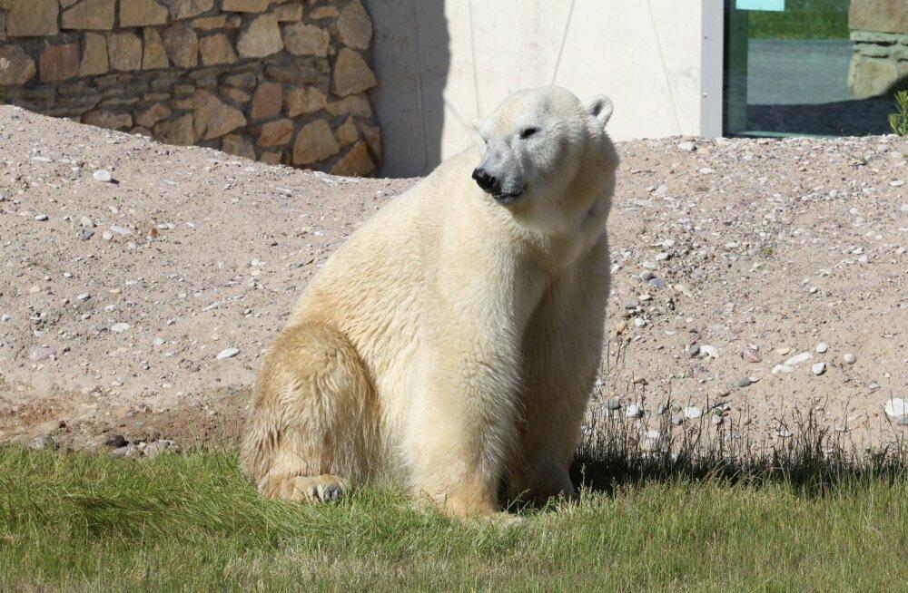 Tallinna loomaaia jääkaru Nordi nahk pargitakse Jõgeva nahavabrikus