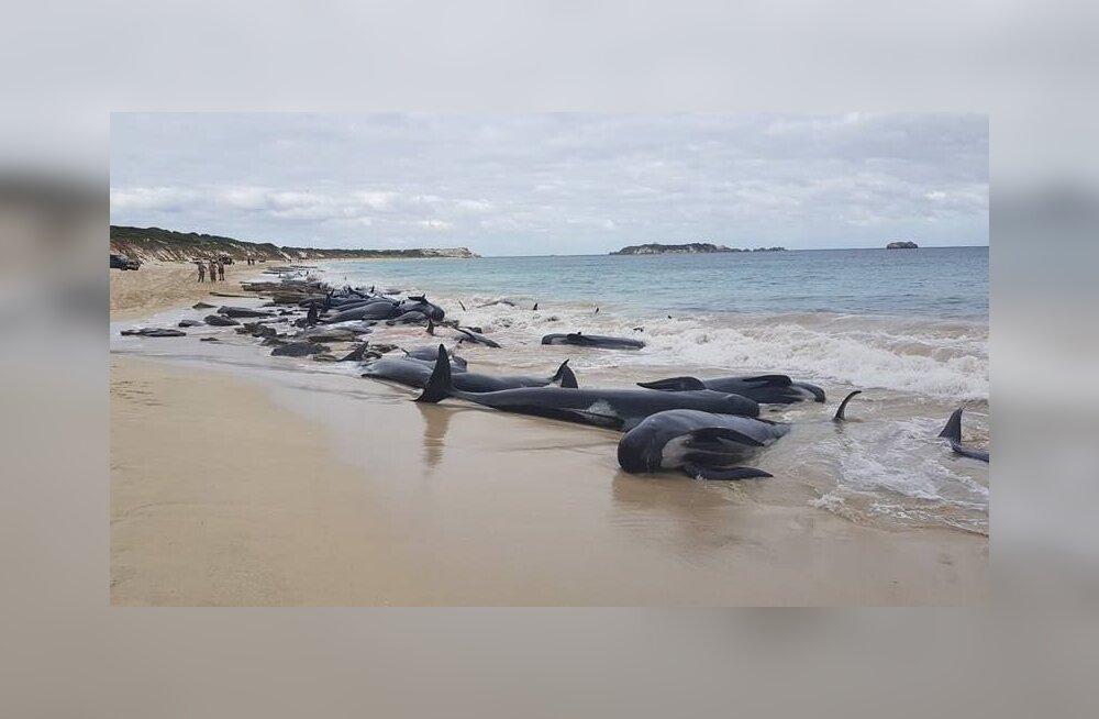 150 черных дельфинов выбросились на берег в Австралии