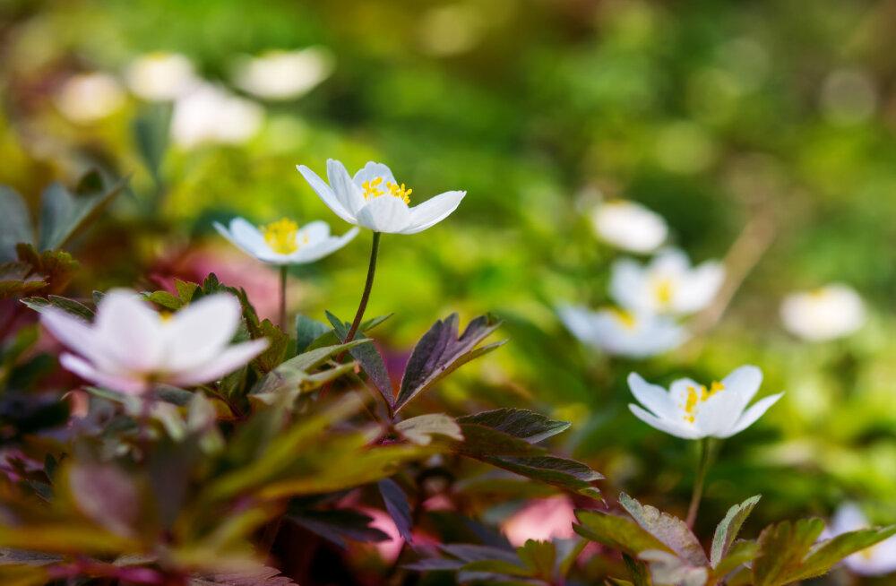 Täna on jüripäev: tõuse vara, ära külla mine ning nõiu endale tervist ja ilu