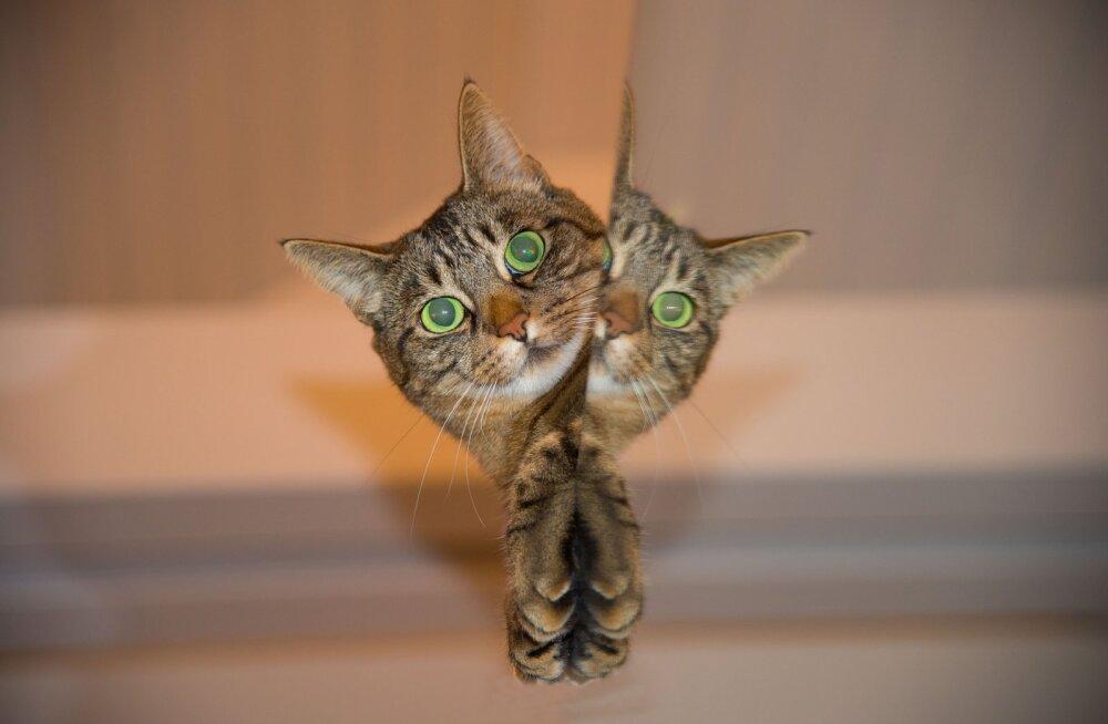KAS TEADSID | 22 kasside ebatavalist käitumisviisi viimaks selged