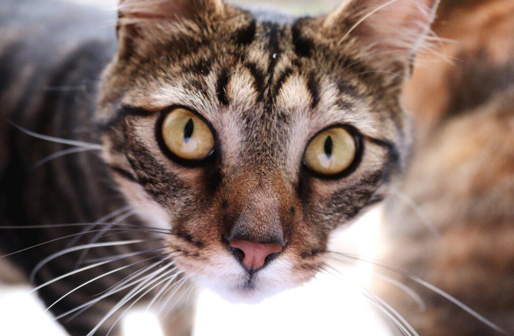 Silmad on hinge peegel: miks kassid jõllitavad ja mida nad sel ajal mõtlevad?