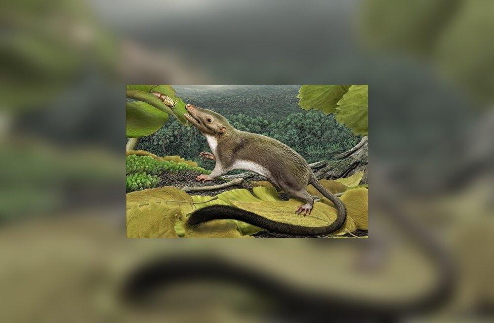 See hiiresuurune putukaõgija on nii inimeste kui ka paljude teiste imetajate esiisa